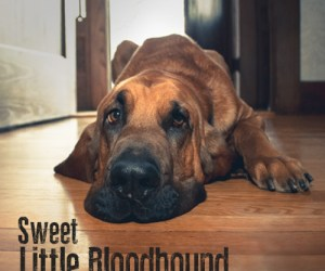 Contact Sweet Little Bloodhound