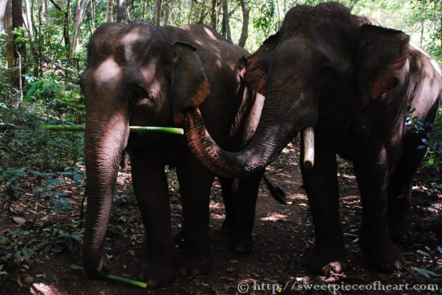 elephants-cambodge