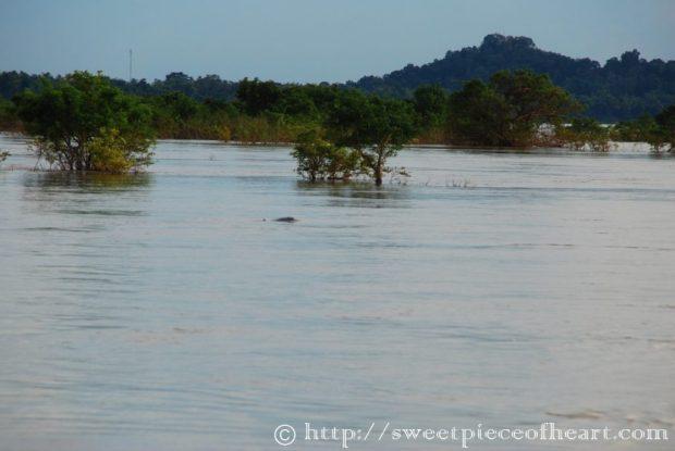 dauphin-irrawaddy-kratie