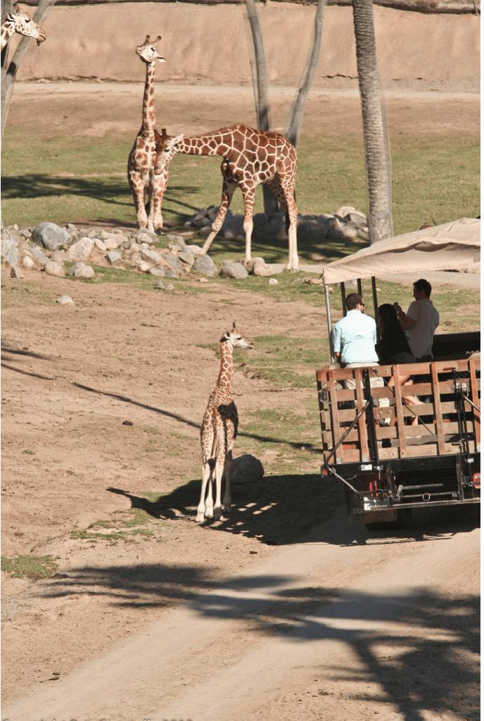 Visit San Diego Safari Park | www.sweetteasweetie.com