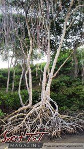Manzanilla mangrove