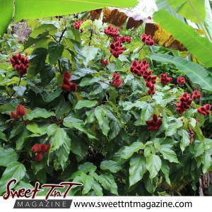 Roucou tree on roadside in Manzanilla in sweet T&T for Sweet TnT Magazine, Culturama Publishing Company, for news in Trinidad, in Port of Spain, Trinidad and Tobago, with positive how to photography.