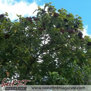 Dried Roucou on tree in sweet T&T for Sweet TnT Magazine, Culturama Publishing Company, for news in Trinidad, in Port of Spain, Trinidad and Tobago, with positive how to photography.