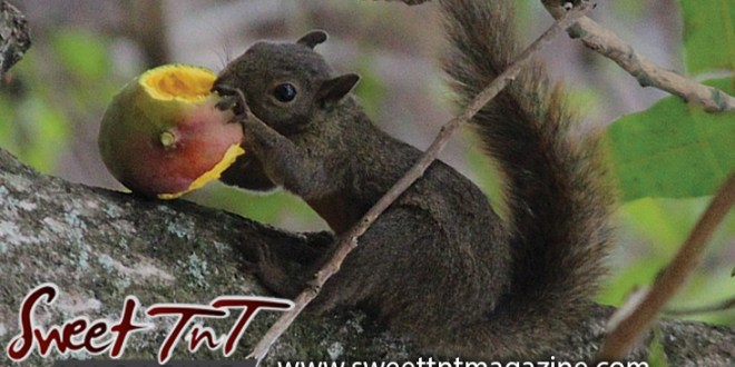 Squirrel eats julie mango on tree at Botanical Gardens