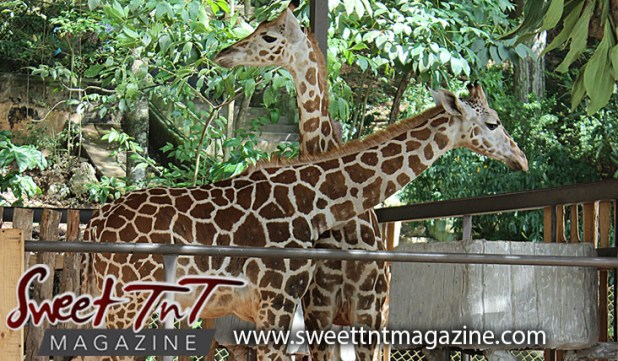 Daddy I want a giraffe poem by Marc Algernon at Emperor Valley Zoo, Melman and Mandela, in Sweet T&T, Sweet TnT Magazine, Trinidad and Tobago, Trini, vacation, travel