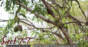 Angel Hair on a mango branch, white christmas, decoration, Santa Claus, short story by Omilla Mungroo in Sweet T&T, Sweet TnT Magazine, Trinidad and Tobago, Trini, vacation, travel