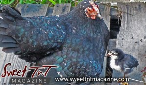 Pet sitting Mother hen and chick at backyard, Nadia Ali, Sweet T&T, Sweet TnT, Trinidad and Tobago, Trini, vacation, travel