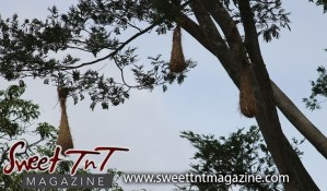 Bird nests hanging from trees at Botanical Gardens, Port of Spain, Sweet T&T, Sweet TnT, Trinidad and Tobago, Trini, vacation, travel