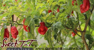 Pimento pepper plant or tree in San Juan plant in garden in San Juan for article grow your own food in Sweet T&T, Sweet TnT, Trinidad and Tobago, Trini, vacation, travel