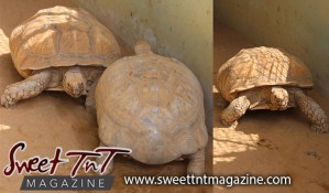 Tortoise, Emperor Valley Zoo, Sweet T&T, Sweet TnT, Trinidad and Tobago, Trini, travel, vacation, animals