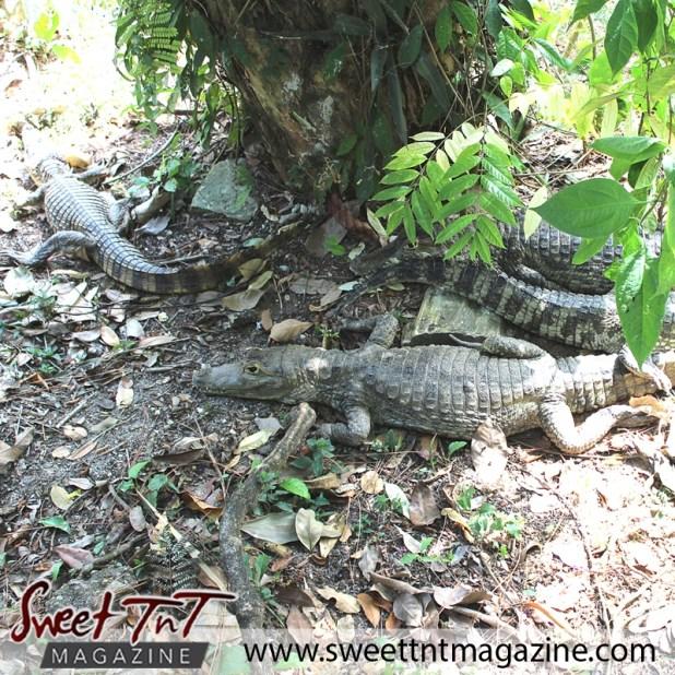 Zoo crocodiles
