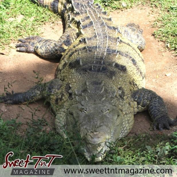 zoo crocodile front