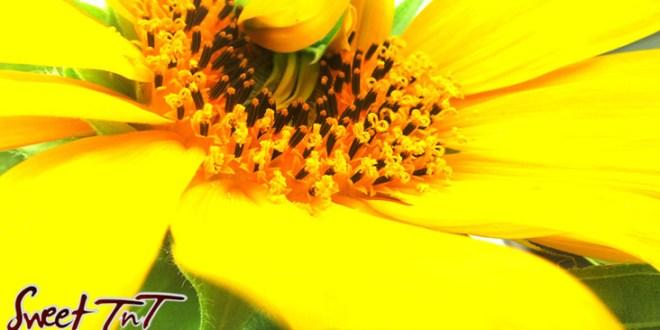 Sunflowers, Yellow Sunflower, garden, plants, flowers Sweet T&T, Sweet TnT, Trinidad and Tobago, Trini,