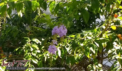 Duranta erecta, yellow berries purple flowers, Sangre Grande Hospital, Oncology, poisonous, fruit, not edible, aesthetics, ornamental flowers, decorative flowers, plants, shrubs in sweet T&T for Sweet TnT Magazine, Culturama Publishing Company, for news in Trinidad, in Port of Spain, Trinidad and Tobago, with positive how to photography.