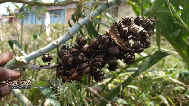 Castor oil dried pods