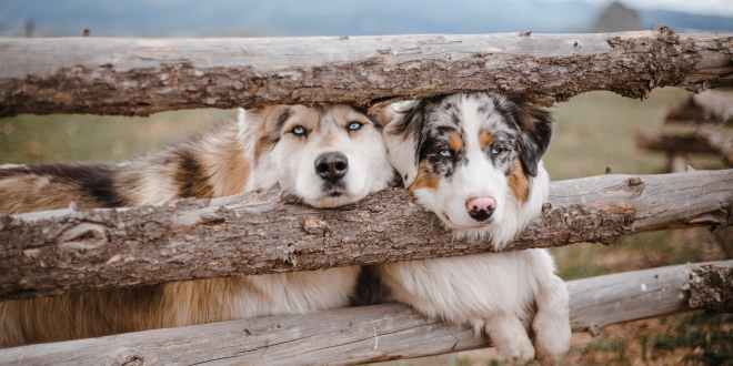 Australian Shepherd. Adorable dogs standing together near wooden enclosure fence in farmland