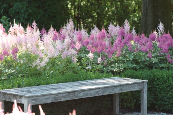 astilbe garden
