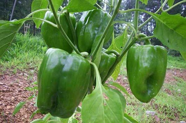 Image result for GREEN bell pePPER recipe