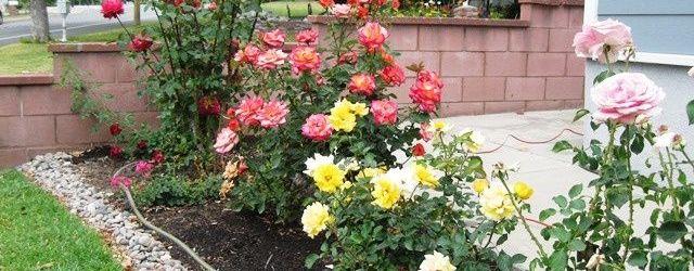 Front Yard Rose Garden Ideas
