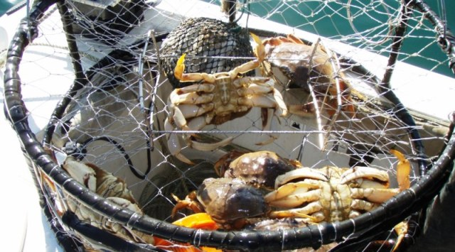 Recreational Dungeness Crab Season to Open Statewide Nov. 5, 2016
