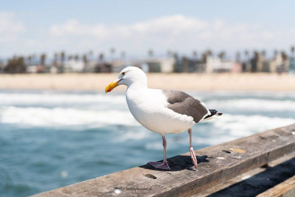 mewa na molo w Venice Beach, Los Angeles