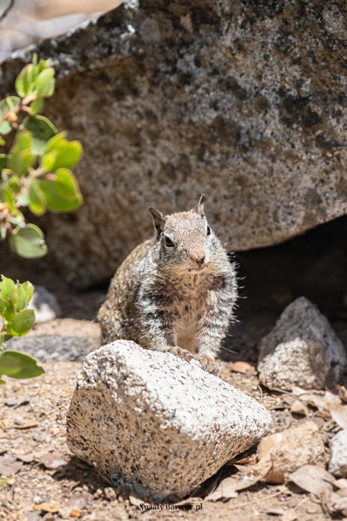 Wiewiórka w Yosemite