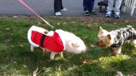 Santa pig! + dog