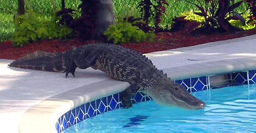 Swimming Game – Alligator Walk