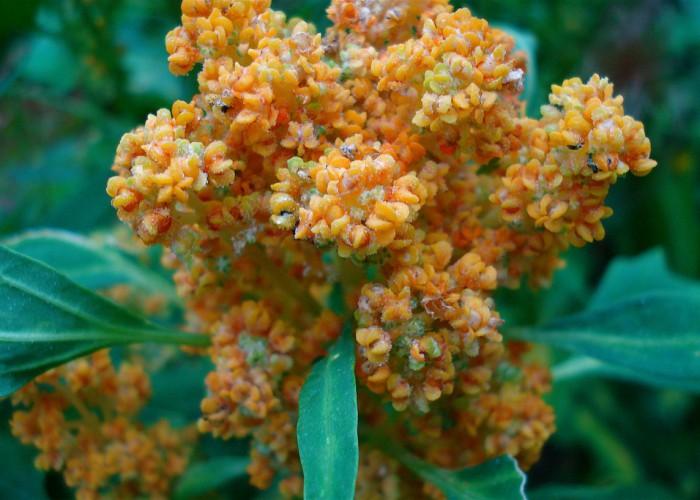 quinoia-flowering-grains