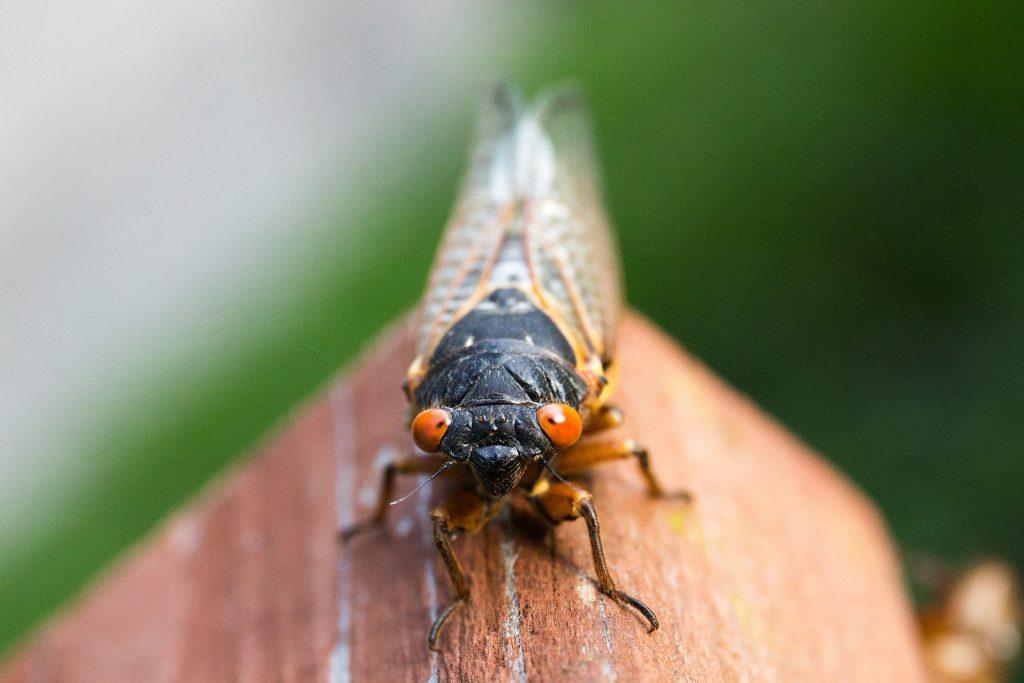 cicada-close-up-insect