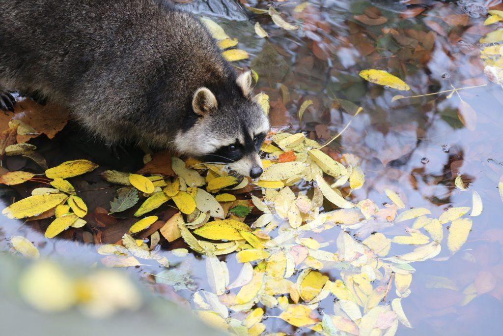 cute-raccoon-in-water