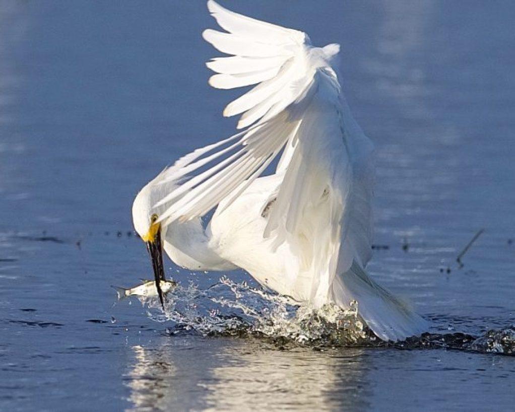 horton-egret-feb19
