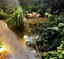 Tropicalislandsflamingos