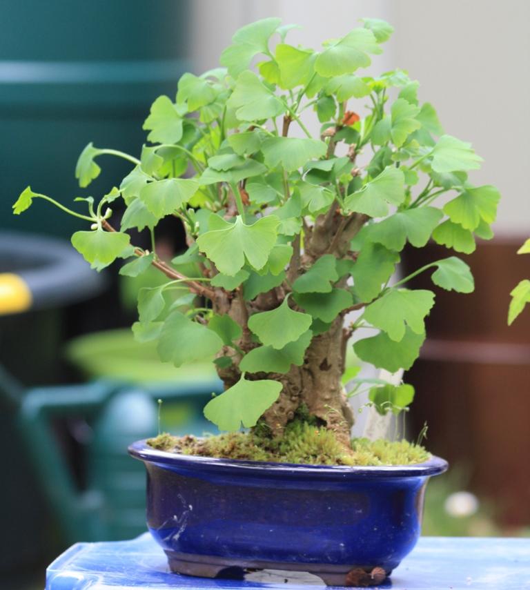 introduction to ginkgo s as bonsai swindon district bonsai. Black Bedroom Furniture Sets. Home Design Ideas