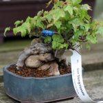 WindyBank Acer buergerianum Trident