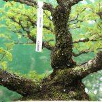 WindyBank Chinese Elm