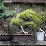 WindyBank Black Pine