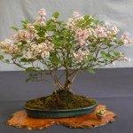 Lilac Bonsai