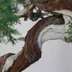 Close up of Juniper trunk