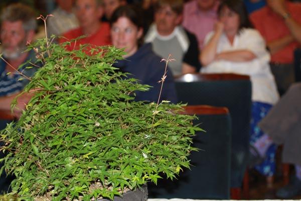 Acer palmatum growth