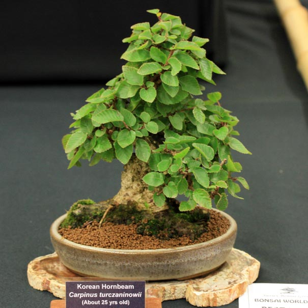 Best Mame at Bonsai World 2011