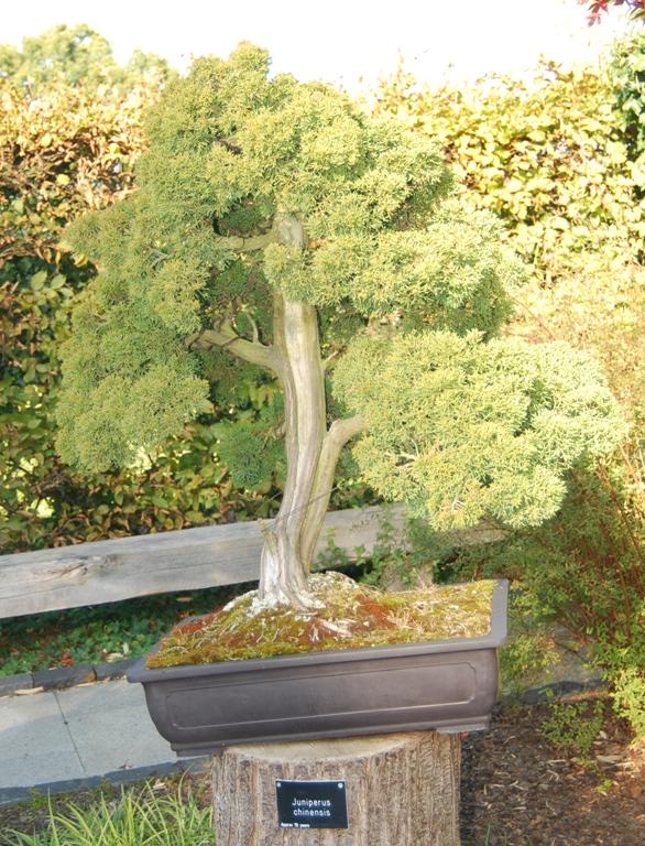 Bonsai Rhs Gardens Wisley Swindon Amp District Bonsai
