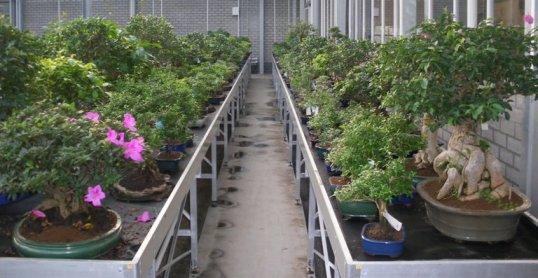 Edo bonsai indoor bonsai trees