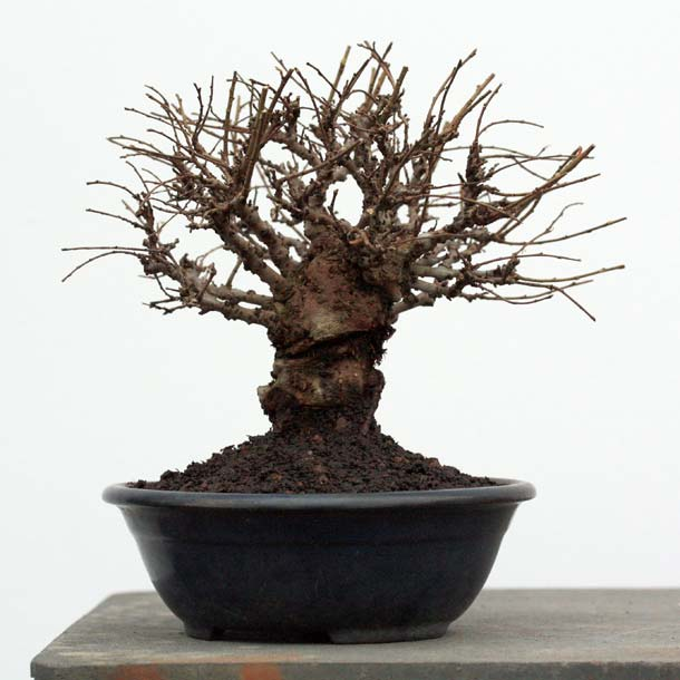 Windybank bonsai raffle 2012 prize: Cork Bark Elm