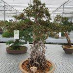 Exposed root Azalea