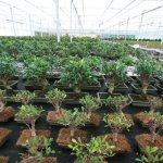 Ficus retusas
