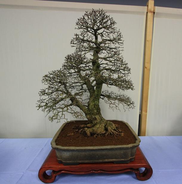 Preparing your bonsai tree