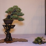 Our shohin pine - part of the winning display