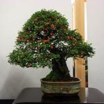 Enfield Bonsai Group