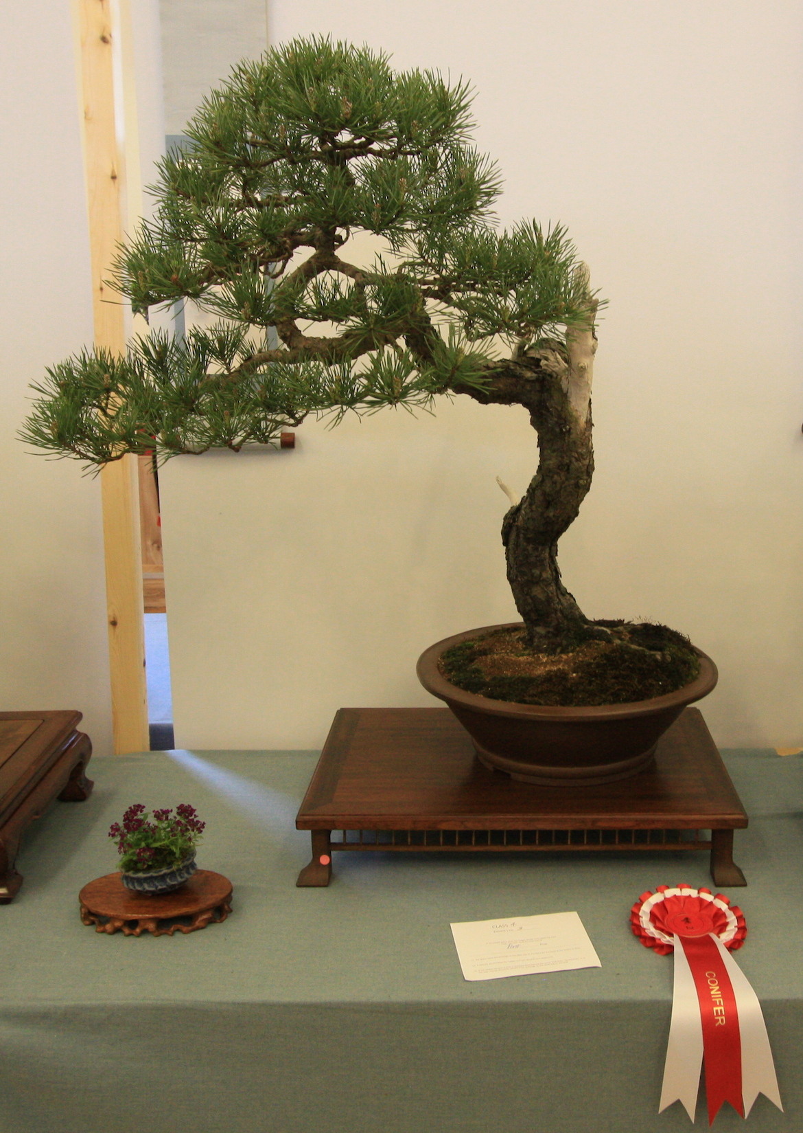 Conifers Class 4 and 1st place went to Bill Baker with his Scots Pine and this was also Best in Show